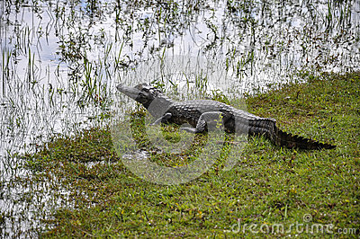 Brazil, Yacare caiman