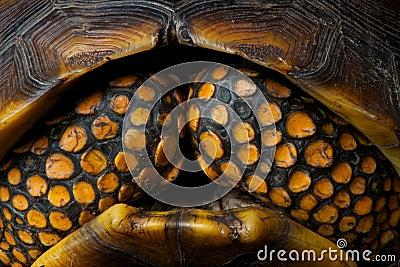 Brazilian giant tortoise