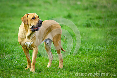 Brazilian Mastiff Or Fila Brasileiro Dog Royalty Free Stock Image ...