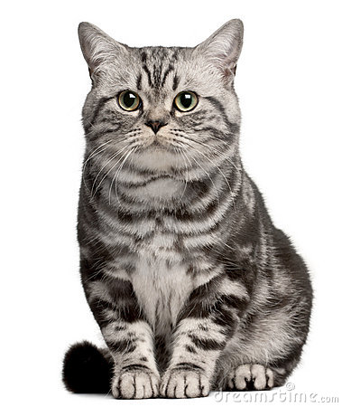 Free Brazilian Shorthair Cat, 1 Year Old, Sitting Stock Photography - 16822042
