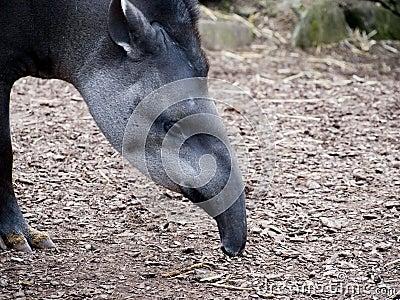 Brazilian Tapir feeding