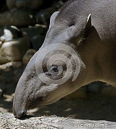 Brazilian tapir 1