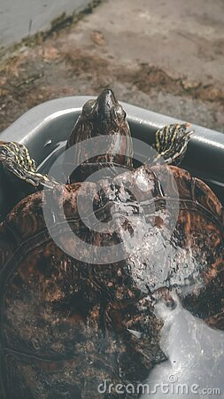 A brazilian turtle trying to escape from his pond royalty free stock photography
