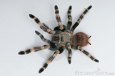 Brazilian whiteknee tarantula. View from top