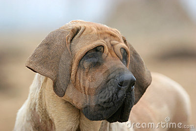 Brazilianmastiff