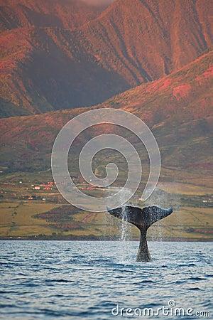Breaching Humpback Whale Fluke