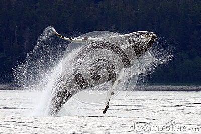 Breaching, Leaping Alaskan Humpback Whale