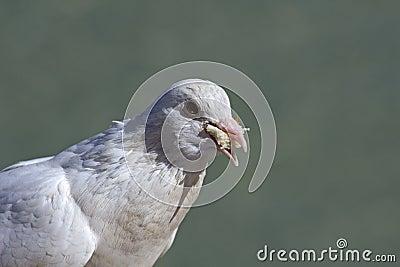 Bread-eating pigeon