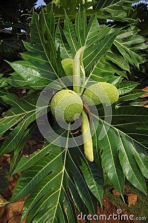 TỨ TUYỆT HOA 2 - Page 43 Breadfruit-artocarpus-altilis-19329843