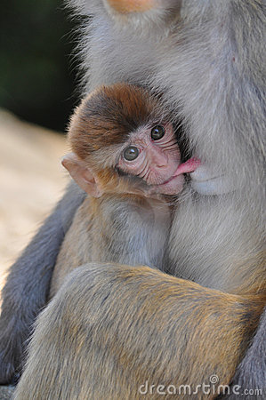 Breast-feeding baby monkey