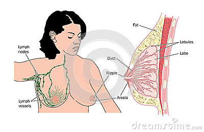Breast and lymph nodes
