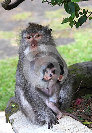Breastfeeding, young monkey sucking nipples mom