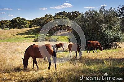 Breed of horses