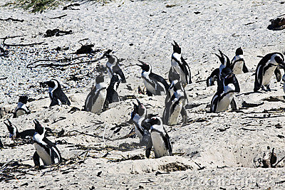 Breeding African Penguins at Boulders Beach, Cape