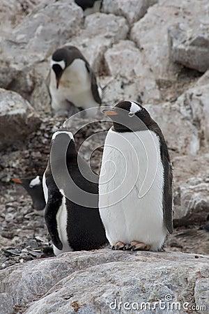 Breeding Gentoo penguins, Antarctica.