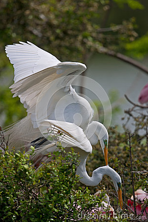 Breeding Great Egrets