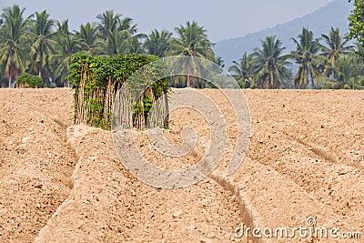 Breeding sapling of cassava and soil cultivation