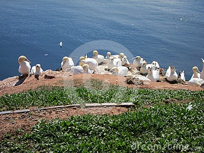 Breeding sea birds on the Island