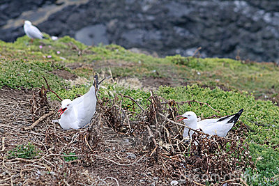 Breeding Silver Gulls