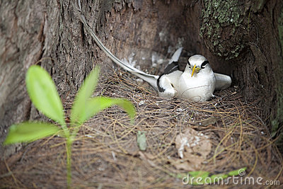 Breeding white-tailed Tropic bird 2