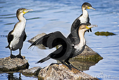 Breedng Pair White-breasted Cormorant