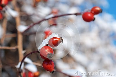 Briar Covered With Snow In Winter Stock Images - Image: 28716534