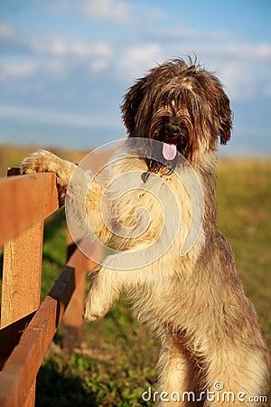 Briard狗