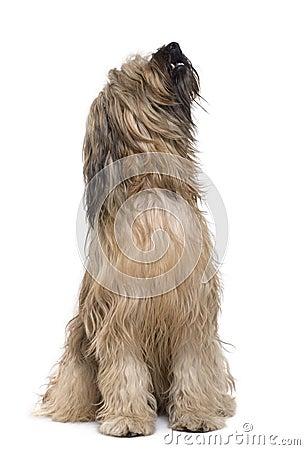 Briard dog, 14 months old