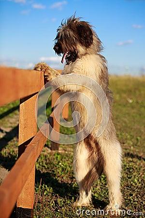 Briard hund