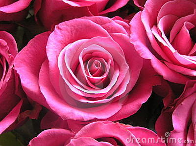 Brides roses in bright pink