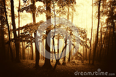 BrighSunset in a dark forest with fog in autumn