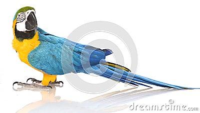 Bright Ara parrot