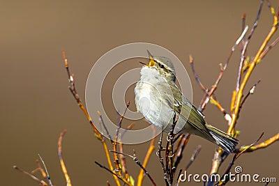 Bright Arctic Warbler
