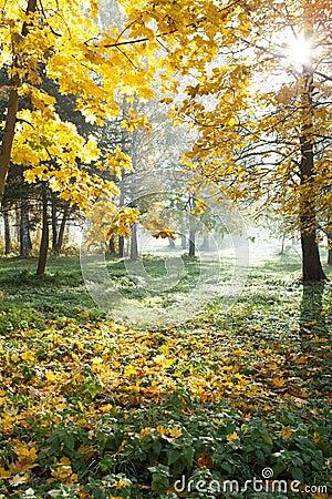Bright autumn nature. Maple and sunlight