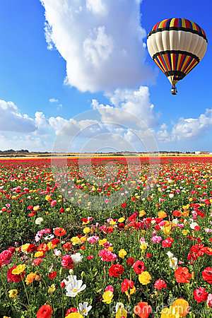 Bright balloon flies over field  of buttercups.