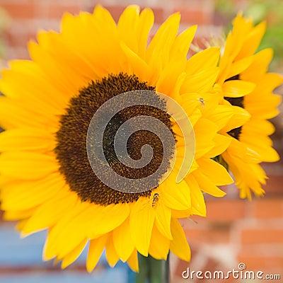 Bright beautiful sunflowers
