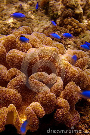 Bright blue fish and sea anemone