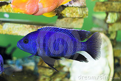 Bright blue predator fish