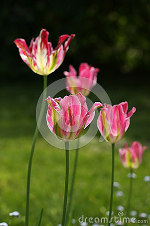 Bright colorful tulips grow in a garden