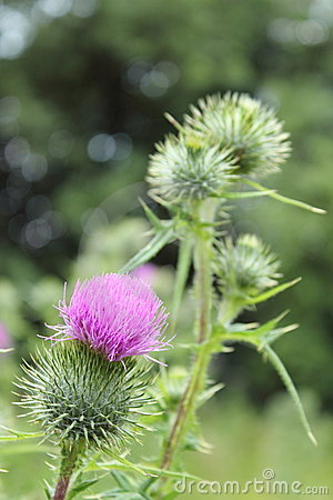 Bright fluffy purple thistle flower