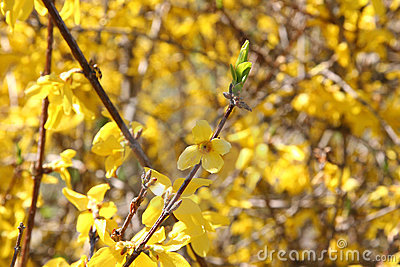 Bright Forsythia Flowers in Spring