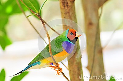 Bright Gouldian finch