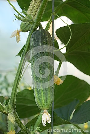 Bright Green Cucumber