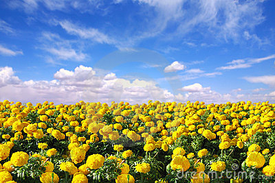 Bright Happy Field of Marigold Flowers
