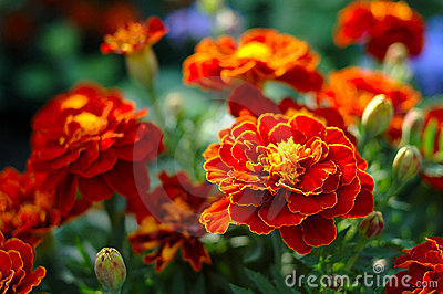 Bright orange (brown) calendula (marigold) flower.