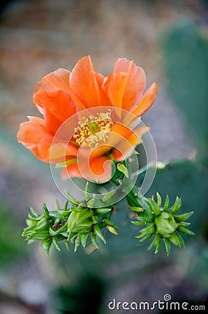 Bright orange cactus flower