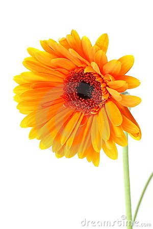 Bright orange gerbera flower