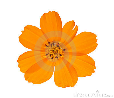 Bright orange isolated flower