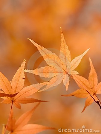 Bright orange Japanese maple leaves in autumn.