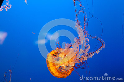 Bright orange jellyfish with deep blue background.